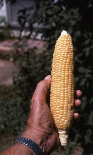 A filled out ear of sweet corn indicates the corn stalks had normal pollination. Plant corn in groups so the silks on theear come in contact with pollen from above tassels. Richard Poffenbaugh Photo.