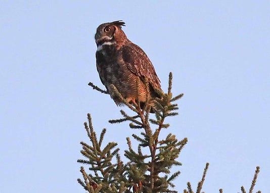 Owl Desisti 0274