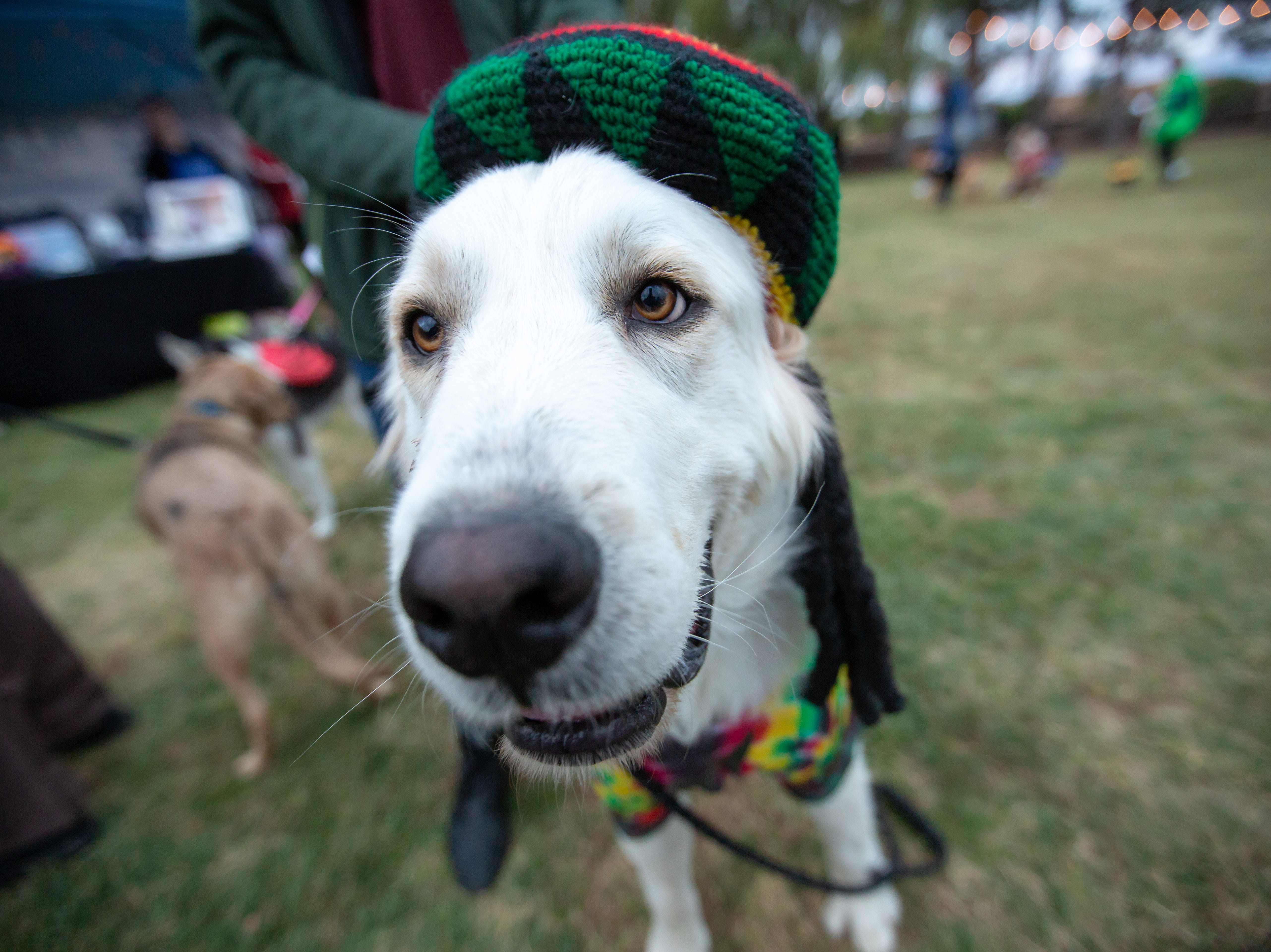 Snow, 3, is dressed as Bob Marley at the start of the Halloween costume contest for pets on Wednesday, Oct. 17, 2018, during the final Yappy Hour of the year at St. Clair Winery and Bistro. The dog's handler, Hayley Stewart, is not pictured.