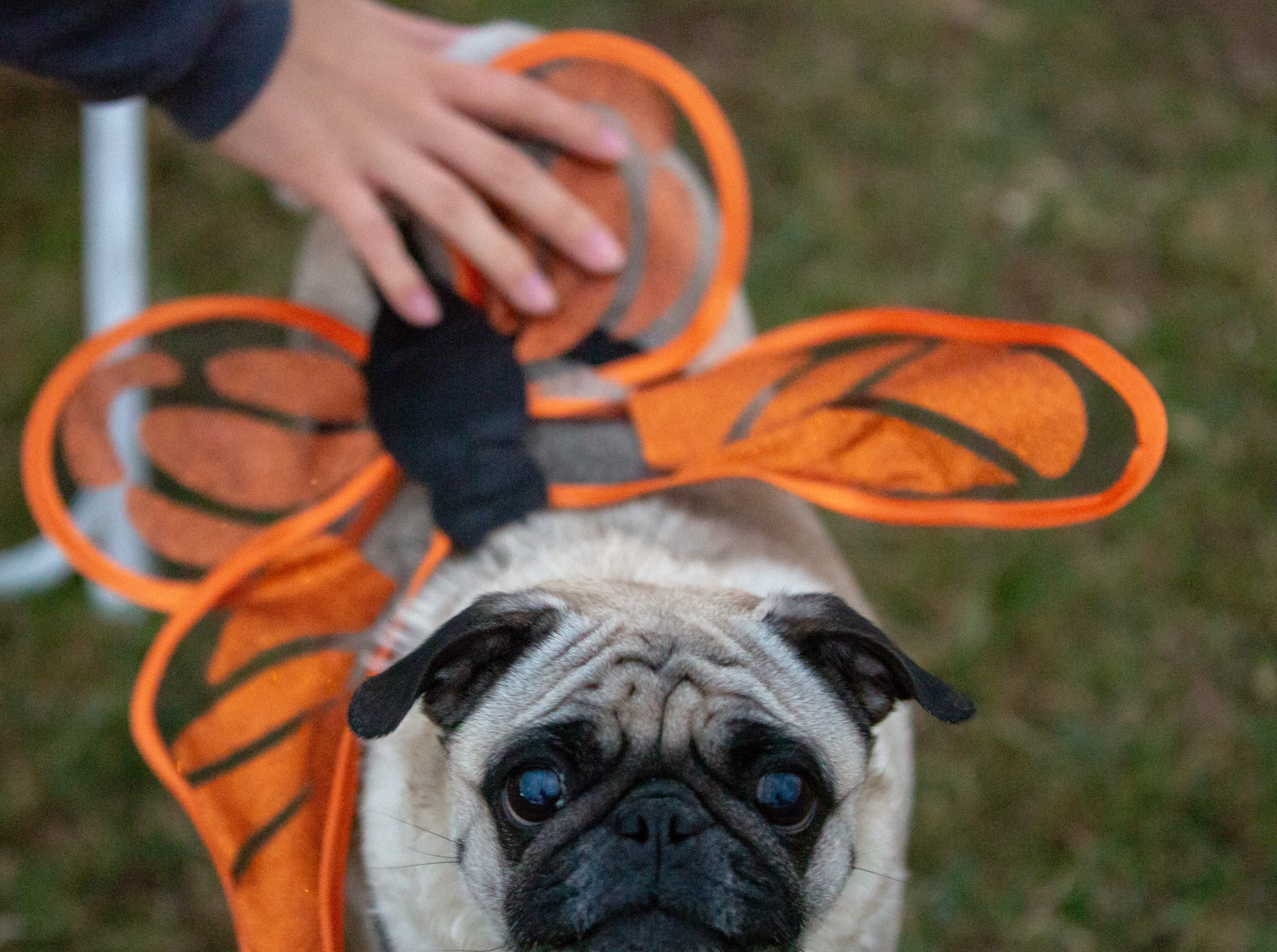 Dressed as a butterfly, Sophie, 4, looks up at the camera as her owner, Rosie Lunn Ramirez, adjusts the costume at the start of the Halloween costume contest for pets on Wednesday, Oct. 17, 2018, during the final Yappy Hour of the year at St. Clair Winery and Bistro.
