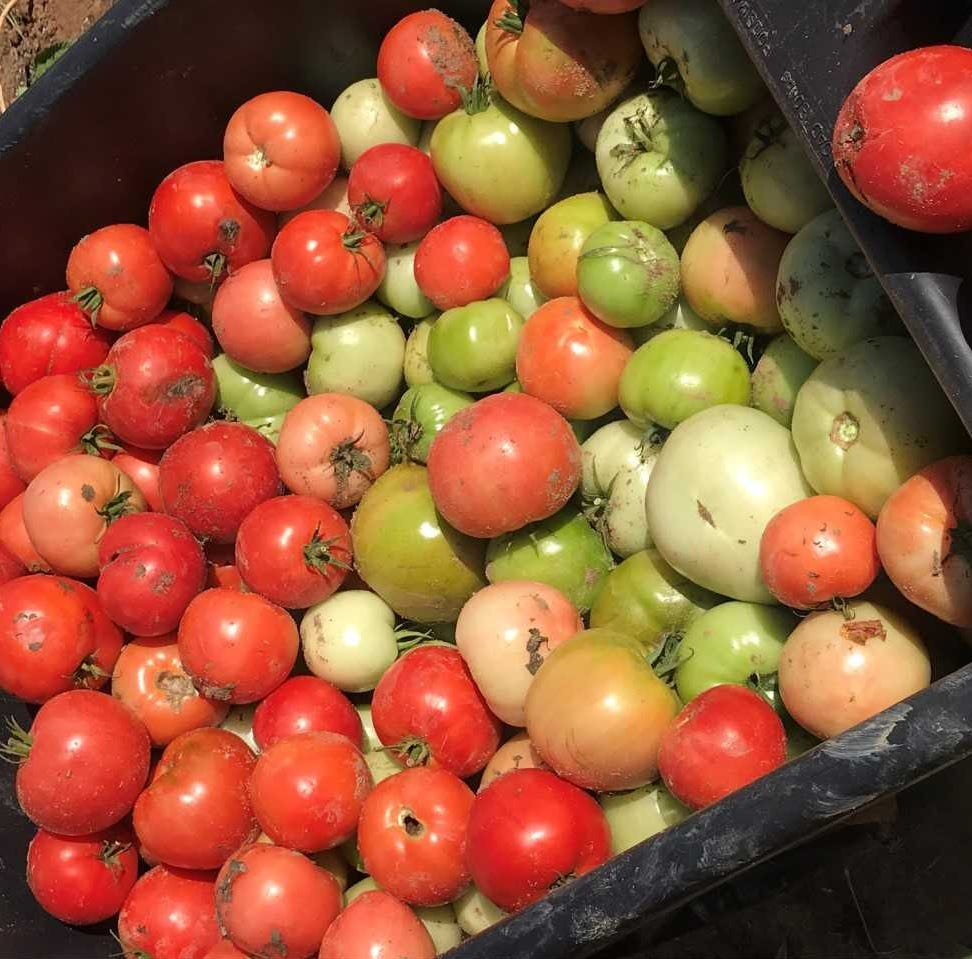 Here's what to do with those green tomatoes