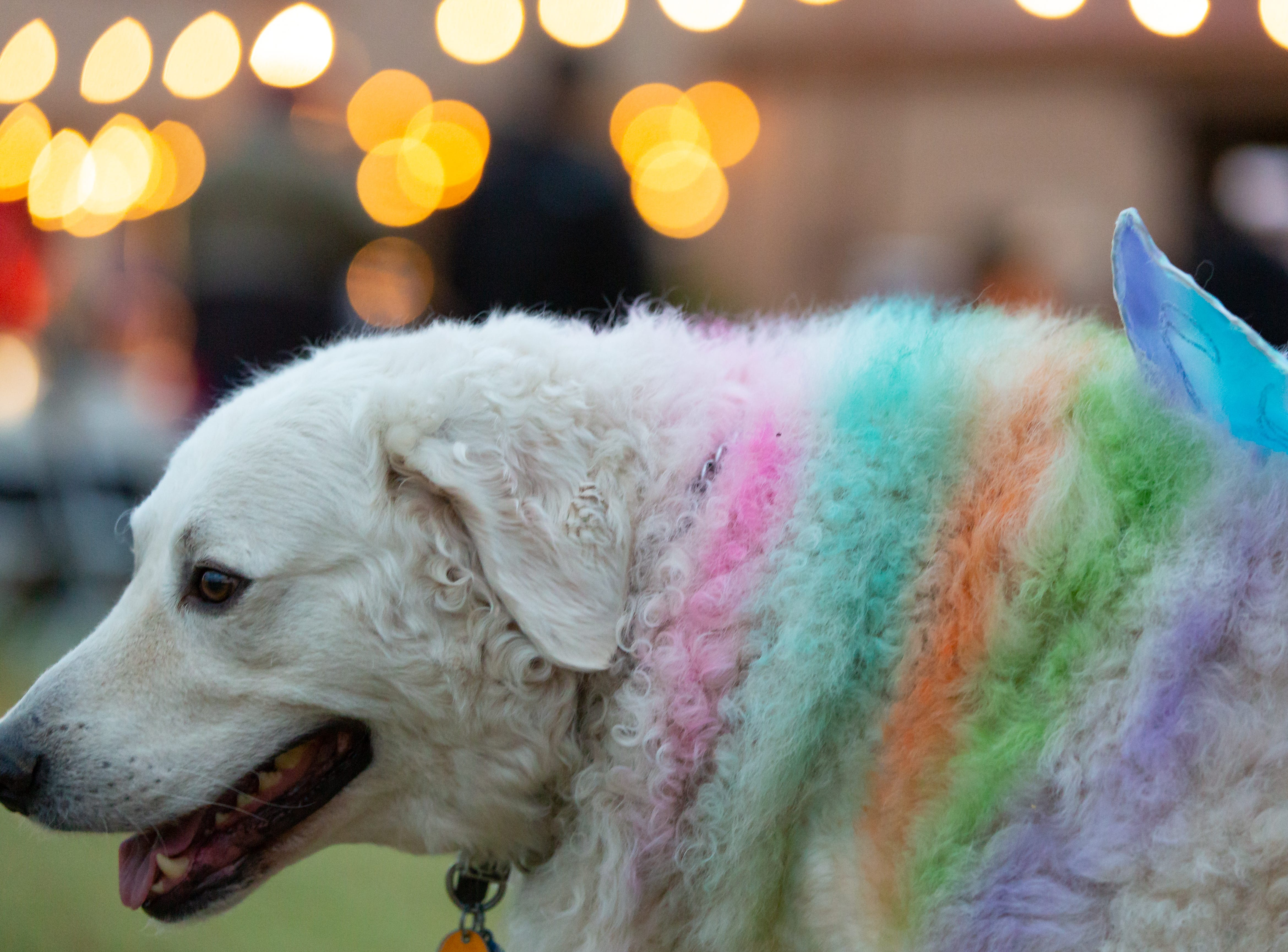 Oodles, 5, is dressed as a unicorn as his handler Karen Rawerf is nearby at the Halloween costume contest for pets on Wednesday, Oct. 17, 2018, during the final Yappy Hour of the year at St. Clair Winery and Bistro.