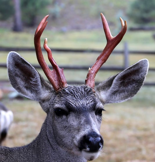 Dick With Red Antlers
