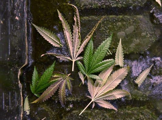 Liv Marijuana 2
