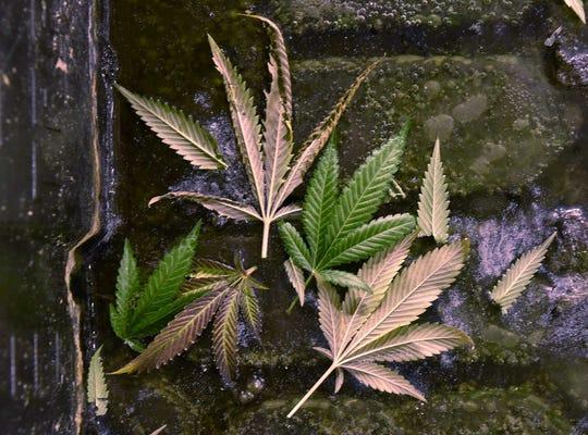 Leaves of the marijuana plant.