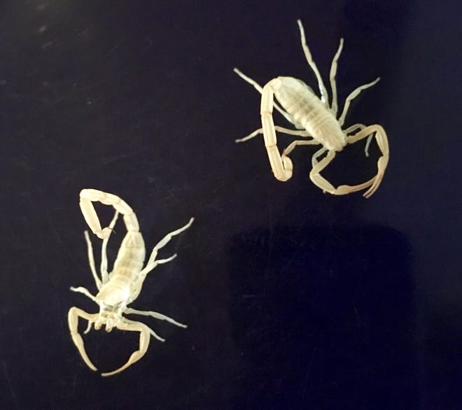 Two scorpion exoskeletons left behind in my china cabinet provided an interesting perspective on life and growth.