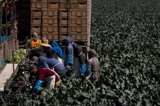 "In this Friday, Sept. 7, 2018, photo, a group of farm workers pick broccoli in Salinas, Calif. Like many California cities, Salinas, dubbed the ""Salad Bowl of the World"" because the surrounding farmland produces most of the lettuce on Earth, suffers from a lack of available affordable housing and space to build more. Housing prices have exploded, with the median cost of a home now $549,000, according to Zillow. (AP Photo/Jae C. Hong)"