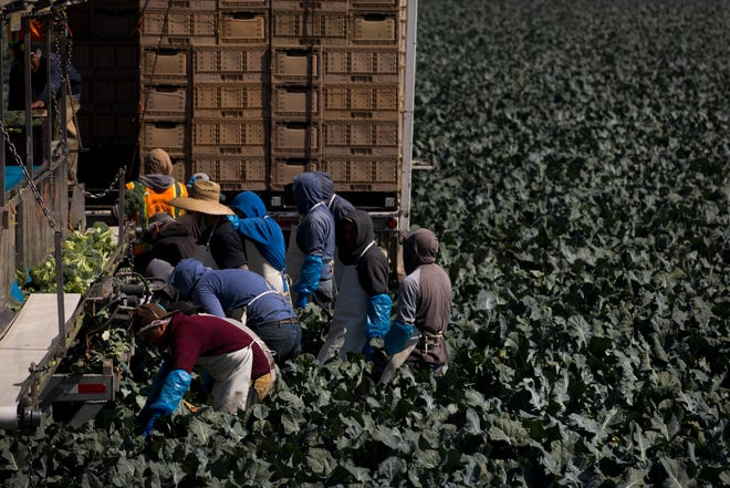 """In this Friday, Sept. 7, 2018, photo, a group of farm workers pick broccoli in Salinas, Calif. Like many California cities, Salinas, dubbed the """"Salad Bowl of the World"""" because the surrounding farmland produces most of the lettuce on Earth, suffers from a lack of available affordable housing and space to build more. Housing prices have exploded, with the median cost of a home now $549,000, according to Zillow. (AP Photo/Jae C. Hong)"""