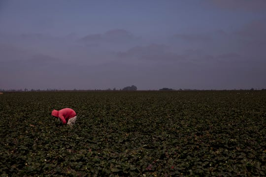 """In this Tuesday, Sept. 4, 2018, photo, a farmworker picks strawberries in Salinas, Calif. Like many California cities, Salinas, dubbed the """"Salad Bowl of the World"""" because the surrounding farmland produces most of the lettuce on Earth, suffers from a lack of available affordable housing and space to build more. Housing prices have exploded, with the median cost of a home now $549,000, according to Zillow. (AP Photo/Jae C. Hong)"""