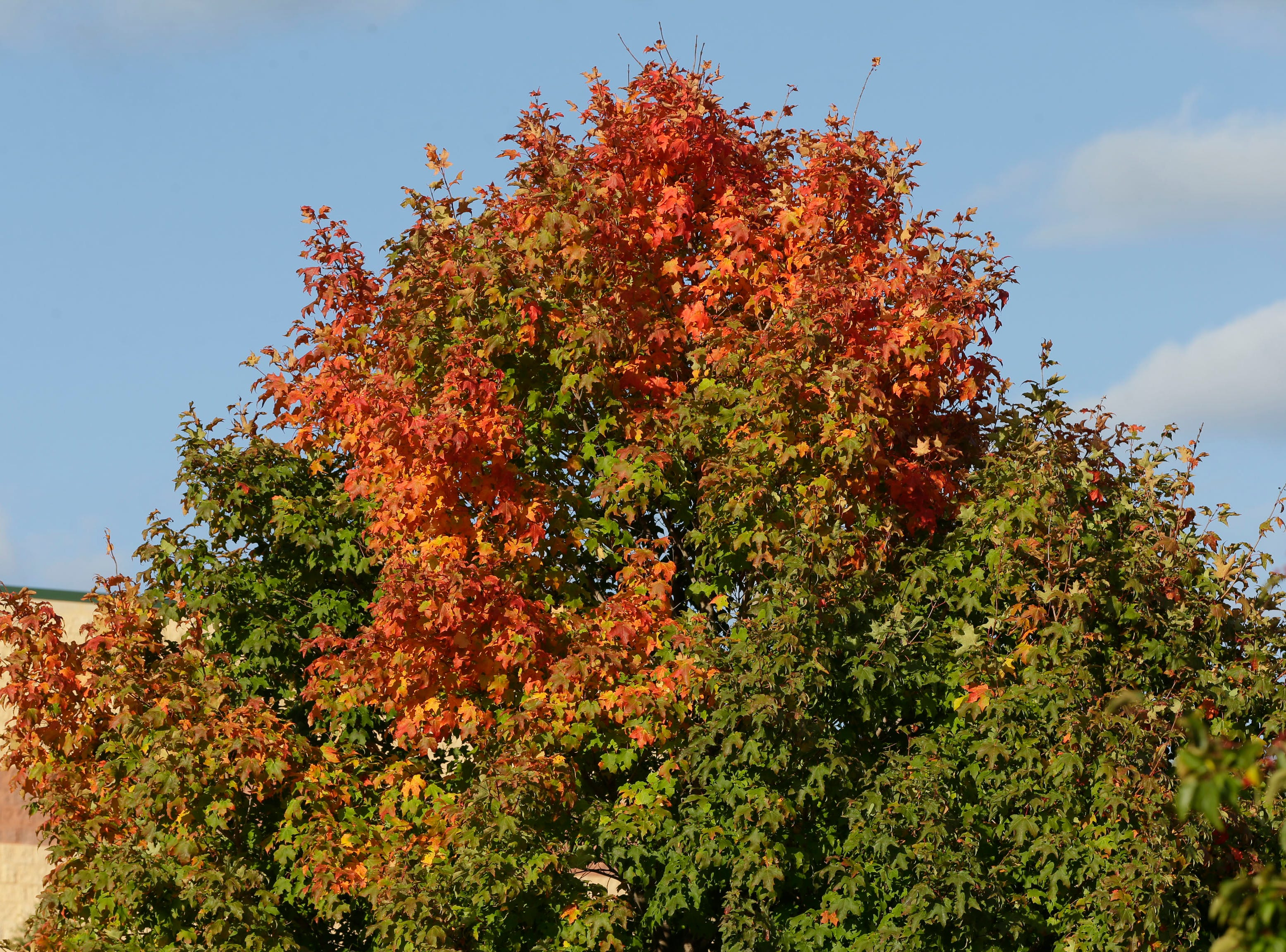 The top of a tree along Taylor Drive, Saturday, October 13, 2018, in Sheboygan, Wis.