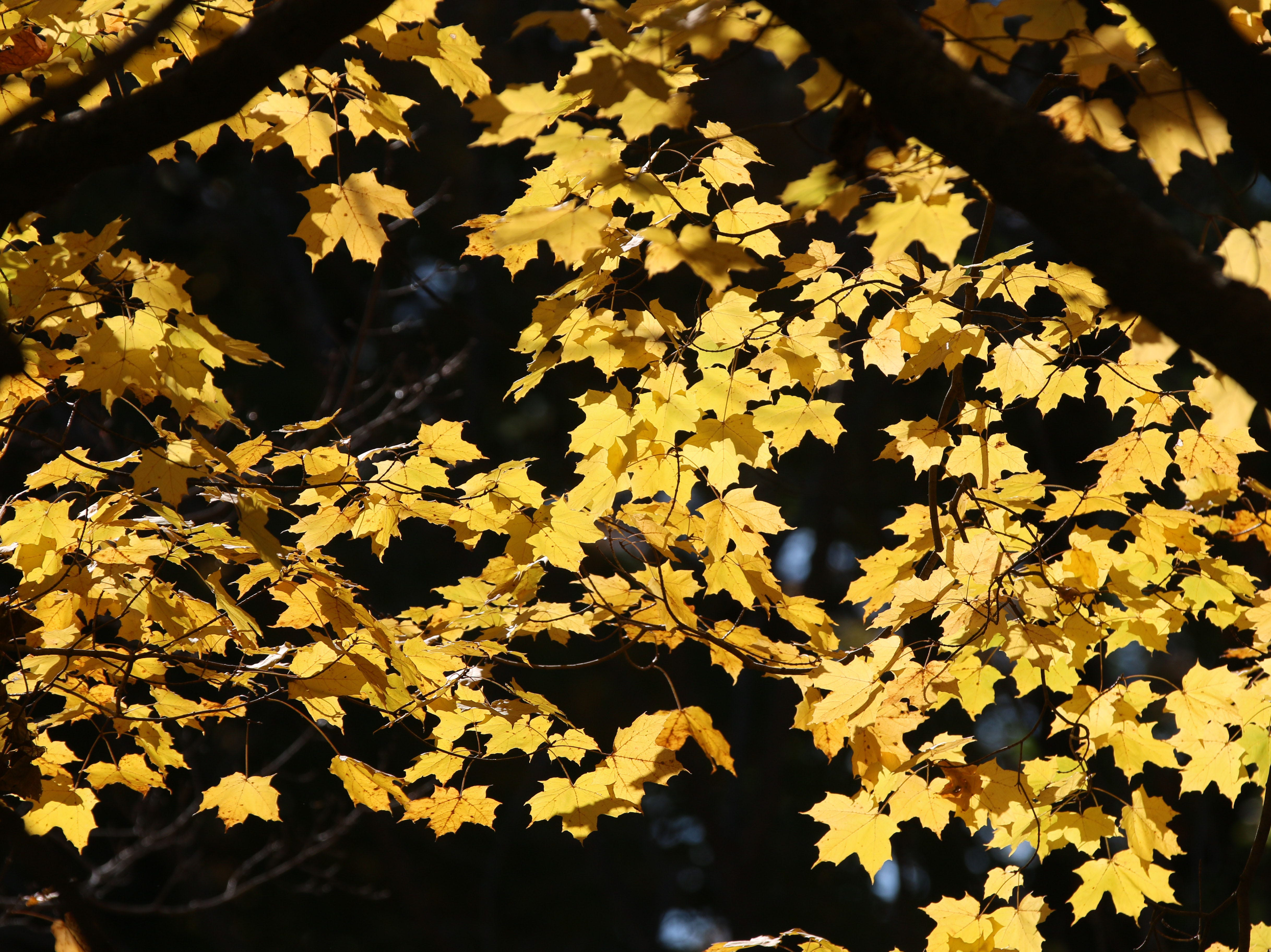 Leaves are aglow in color near Kohler Schools, Tuesday, October 16, 2018 in Kohler, Wis.