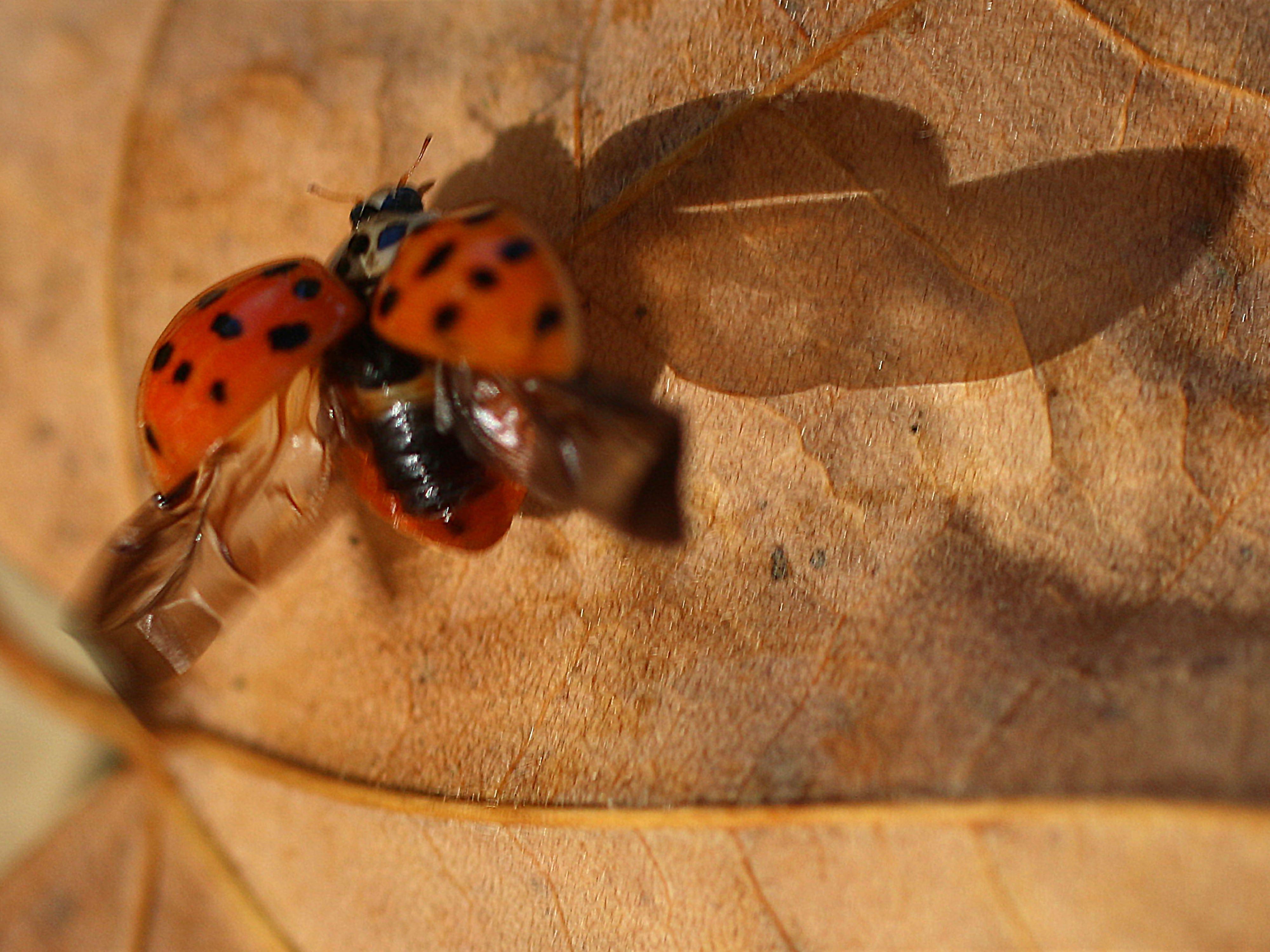 A ladybug prepares for take off in Kohler Tuesday, October 16, 2018, in Kohler, Wis.