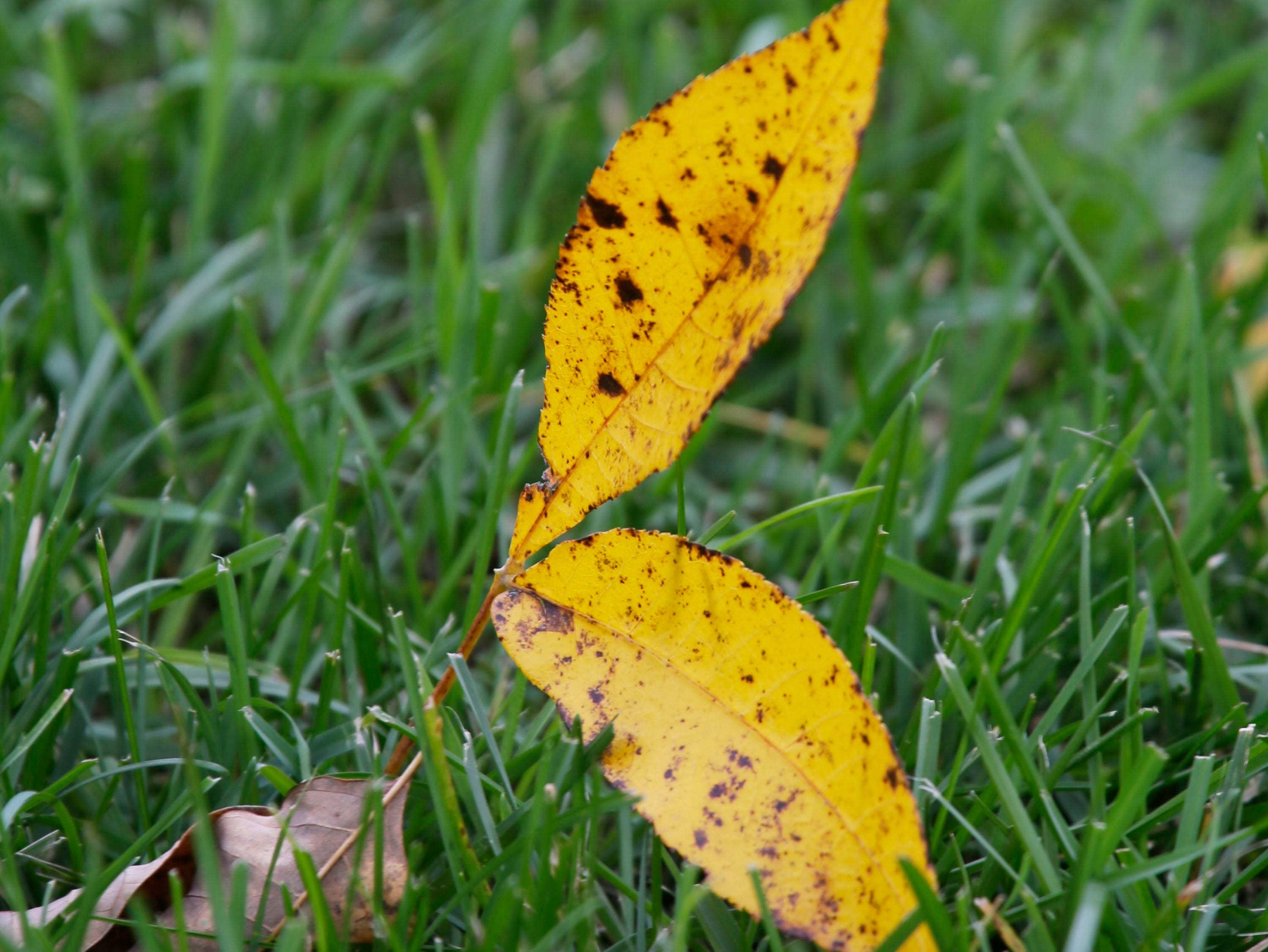 A fallen leaf contrasts with green grass at Taylor Park, Thursday, October 11, 2018, in Sheboygan, Wis.