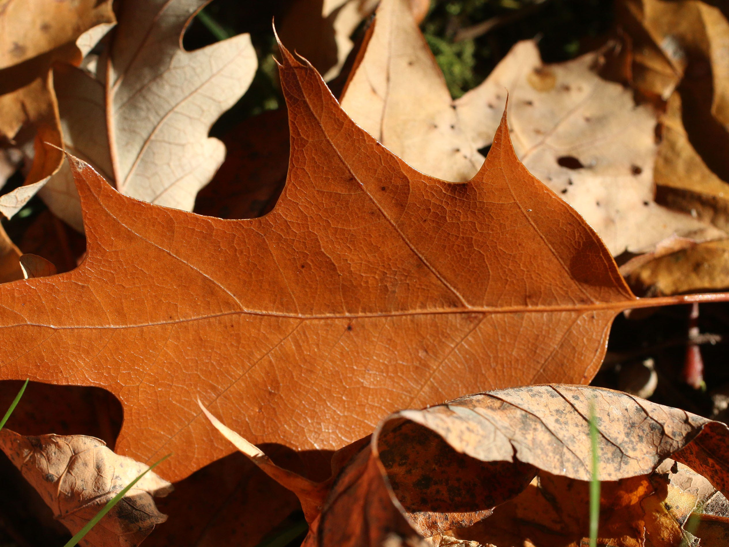 An oak leaf's texture is highlighted by the afternoon sun, Tuesday, October 16, 2018, in Kohler, Wis.