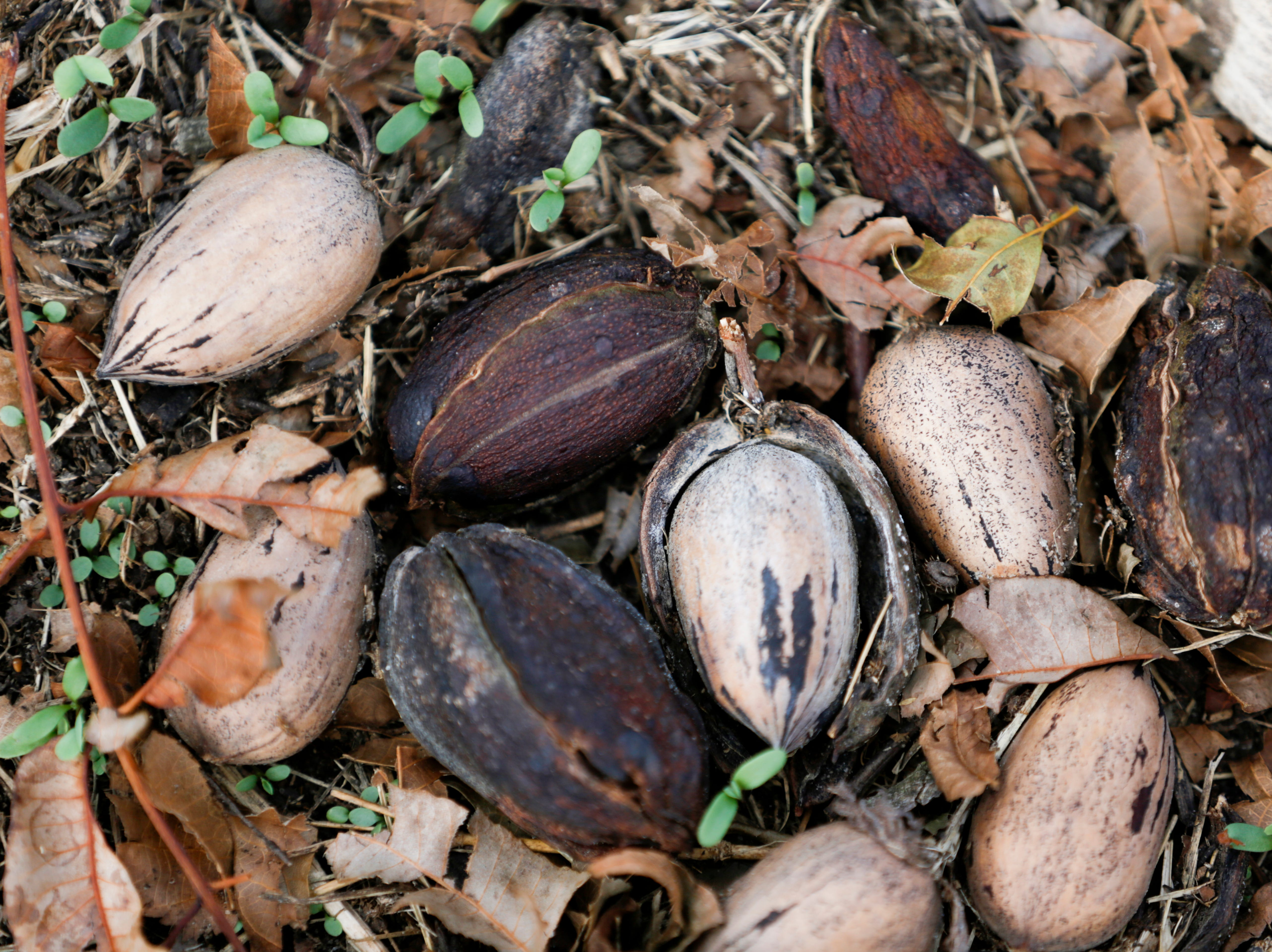 Fallen pecans sit in an orchard on Seldom Rest Farm in Donalsonville, Ga. in the aftermath of Hurricane Michael Wednesday, Oct. 17, 2018.