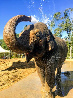 This undated photo provided by the Santa Barbara Zoo shows Asian elephant Sujatha at the Santa Barbara Zoo in Santa Barbara. The zoo says it had to euthanize Sujatha who is one of its most beloved and oldest residents. Sujatha was euthanized Tuesday surrounded by her caretakers.