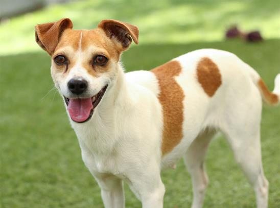 Juliet is a charming Jack Russell Terrier mix. She is about 2 years old. Juliet loves her walks and is good on leash.She is also a girl who likes to cuddle. Juliet is spayed and ready for a family to love. She is a smart girl with a winning smile.You can meet Juliet at the Humane Society of Ventura County in Ojai. Her adoption fee of $120 includes spay, vaccinations, free veterinarian check, microchip implantation, ID tag and a loving new family member.For more information on Juliet or other available animals, or to volunteer, please call 805-646-6505 or visit www.hsvc.org.The shelter is located at 402 Bryant St.,Ojai. Hours are 10 a.m. to 6 p.m. Monday throughSaturday.With Halloween fast approaching, it's time to be sure ID tags on your pets are up to date.Cats, especially black cats, should be left inside on Halloween.