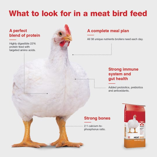 Broiler chickens should be fed a high-protein diet to help support rapid growth.