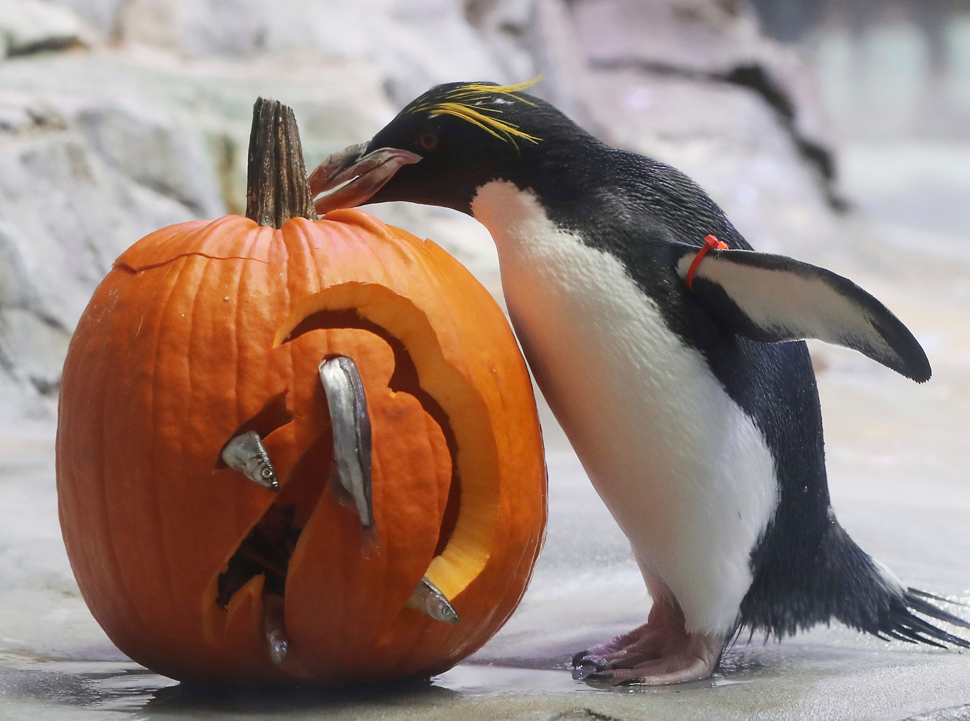 A Macaroni Penguin looks over a fish themed pumpkin at the Detroit Zoo, Wednesday, Oct. 10, 2018, in Royal Oak, Mich. Each year in October as Halloween approaches, some of the animals receive pumpkins filled with treats to eat during the zoo's annual Smashing Pumpkins event. The enrichment items are hidden through out the animals' habitats or prepared and placed in a manner to stimulate natural behaviors. (AP Photo/Carlos Osorio) ORG XMIT: MICO203
