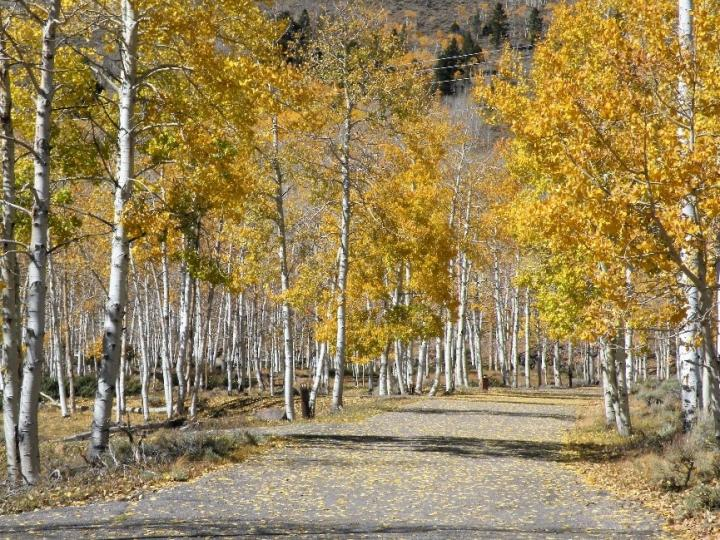 Pando, the world's largest organism is dying, study suggests | Burlington Free Press
