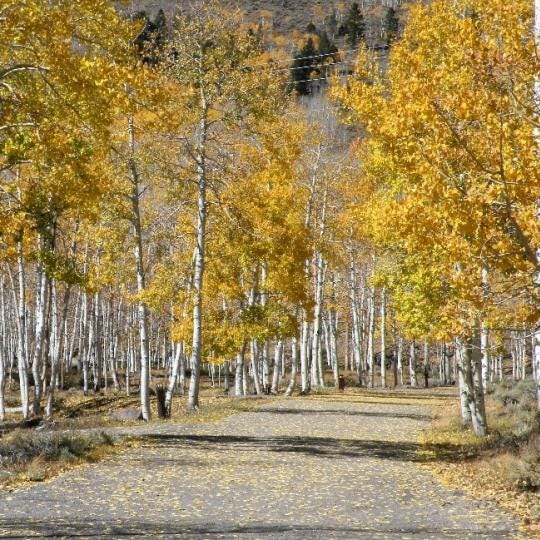Pando, the world's largest organism is dying, study suggests
