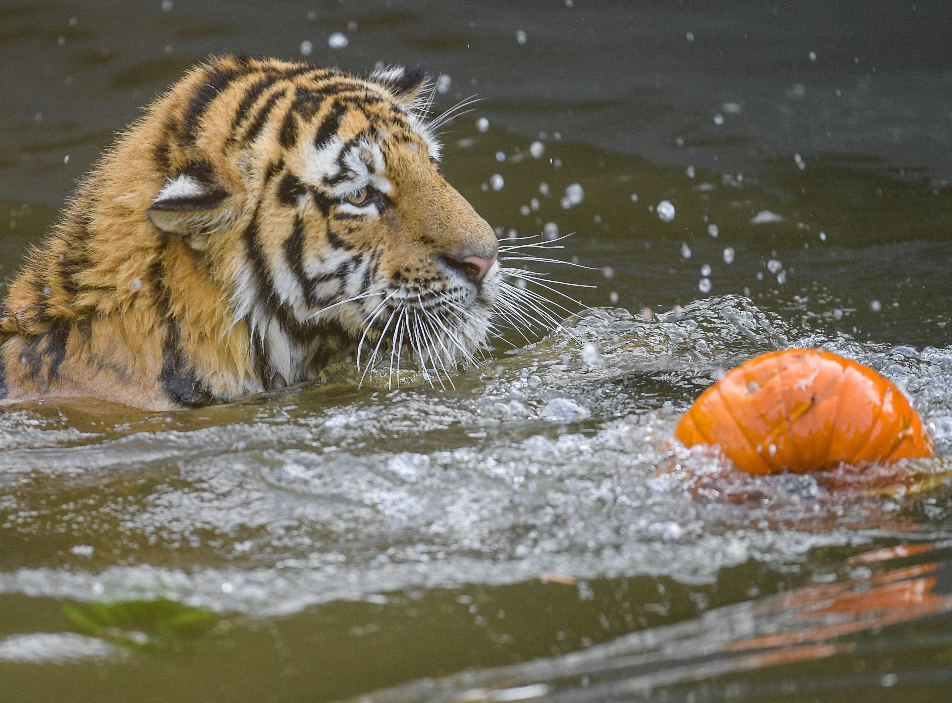 A Siberian tiger swims in its pool to reach a pumpkin filled with meat on September 27, 2018 at the Tierpark Hagenbeck zoo in Hamburg, northern Germany. (Photo by Axel Heimken / dpa / AFP) / Germany OUTAXEL HEIMKEN/AFP/Getty Images ORIG FILE ID: 581774509