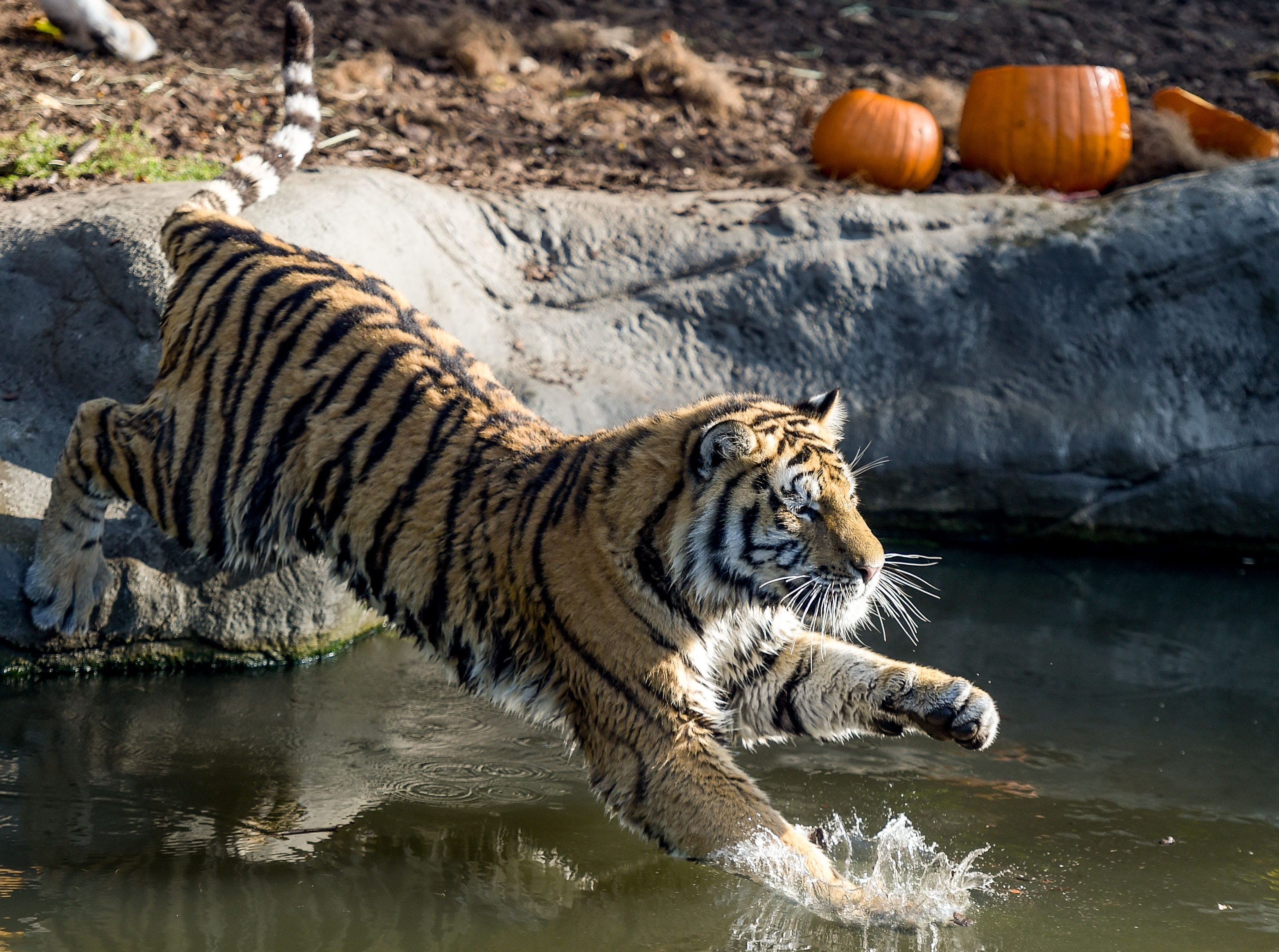 A Siberian tiger jumps in its pool to reach a pumpkin filled with meat on September 27, 2018 at the Tierpark Hagenbeck zoo in Hamburg, northern Germany. (Photo by Axel Heimken / dpa / AFP) / Germany OUTAXEL HEIMKEN/AFP/Getty Images ORIG FILE ID: 581774534