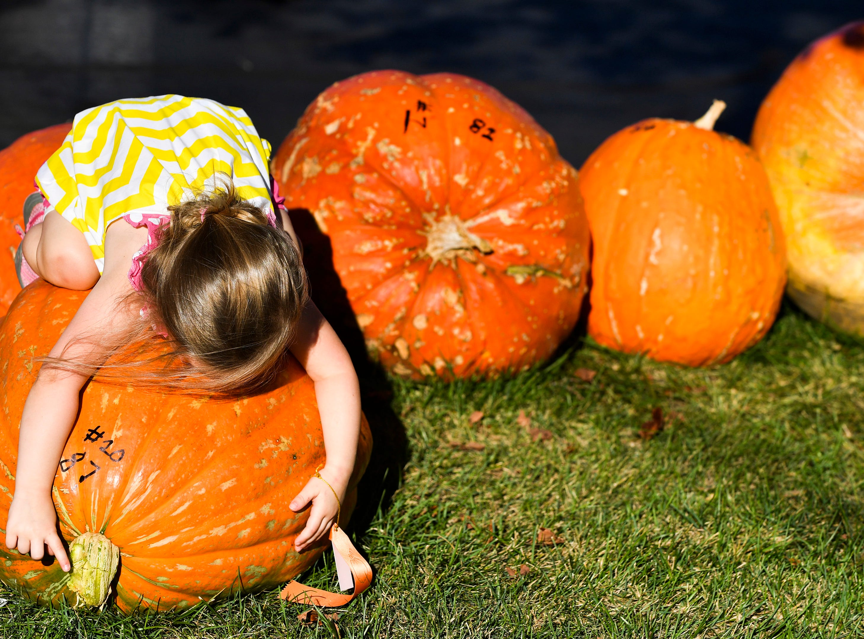 Three-year-old Abagail Koch of Morton, Ill., wraps her arms around her 87 pound pumpkin entered in the Morton Pumpkin Festival Pumpkin Weigh Off in Morton, Ill., on Tuesday, Sept. 11, 2018. (Ron Johnson/Journal Star via AP) ORG XMIT: ILPEO101