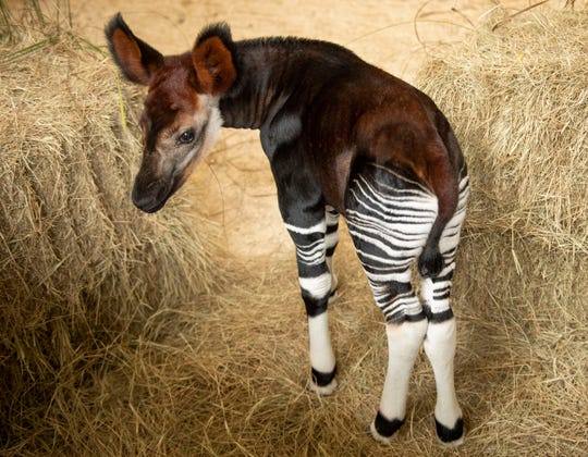 In honor of World Okapi Day, Walt Disney World Resort in Lake Buena Vista, Fla., today announced the birth of an okapi at Disney's Animal Kingdom Lodge. The calf was born Oct. 1, 2018, and weighed 54 pounds. The calf will be introduced onto the Disney's Animal Kingdom Lodge savanna in the coming months. Guests visiting Disney's Animal Kingdom Lodge may gaze out on a savanna featuring more than 30 species of African wildlife, including zebras, giraffes, gazelles and more.