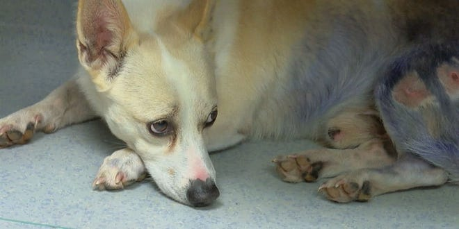 HART Cincinnati drove more than an hour into Kentucky on Wednesday to save a 4-year-old Corgi from being put down.