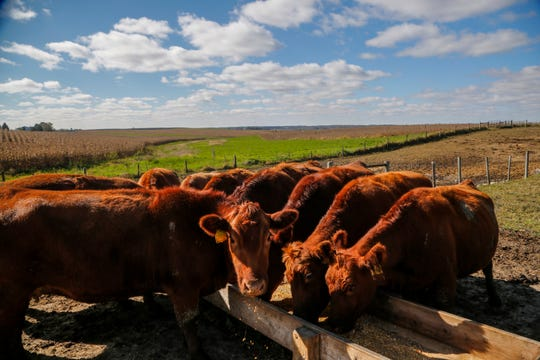 Red Angus beef cattle on Eric Lyon's Toledo farm Monday, Oct. 15, 2018. His family has liquidated its 400-cow dairy and is switching to beef cattle, because of low milk prices, and the difficulty of finding workers