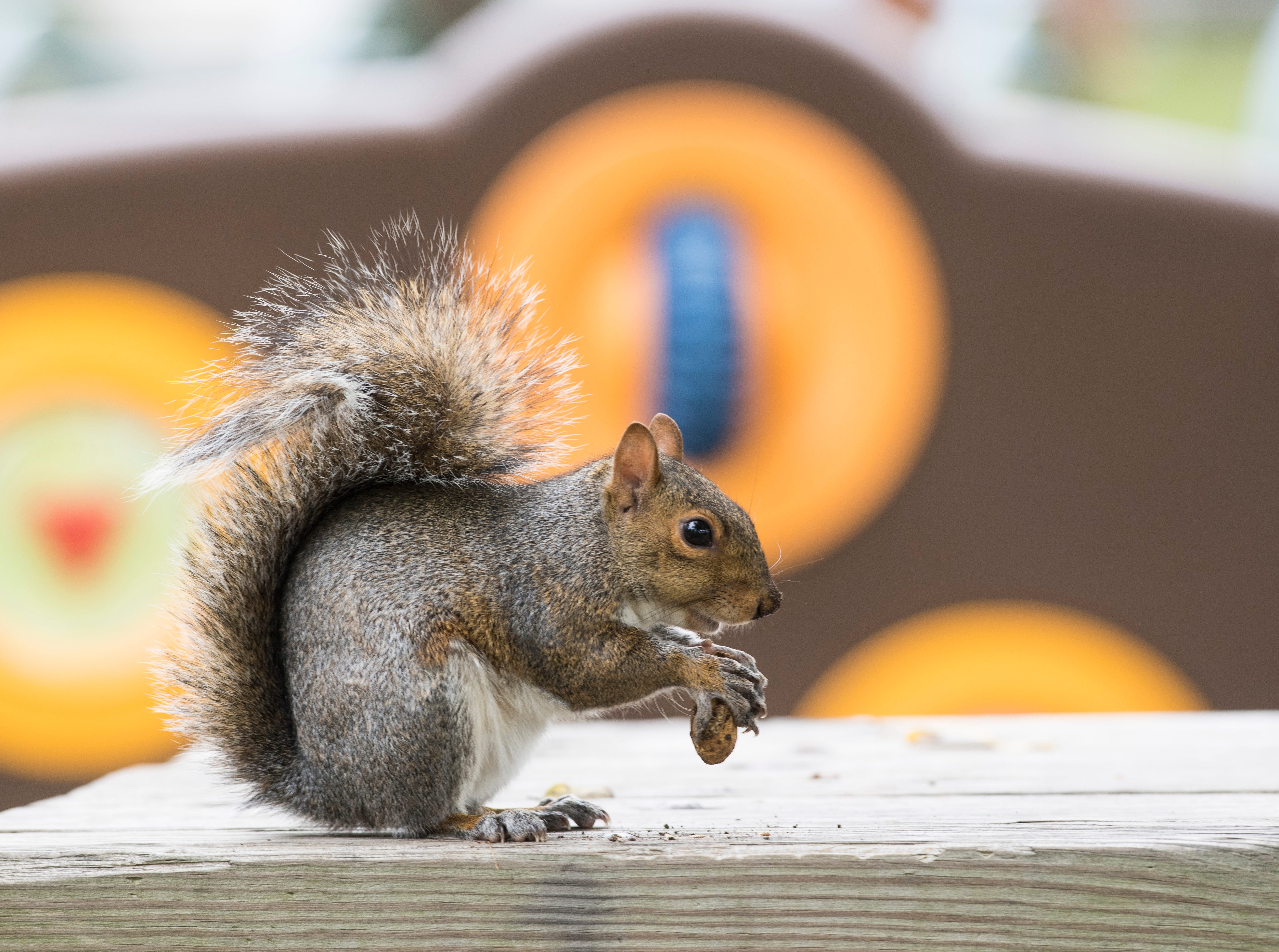 A Fox squirrel is perched on a picnic table in Central Park while munching on a peanut Tuesday, Oct. 16, 2018.