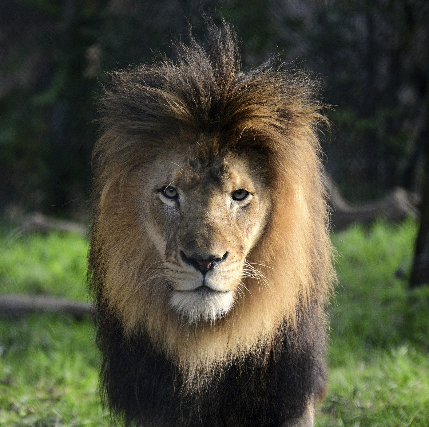 Indianapolis Zoo: Lion dies after it was fatally injured by another lion
