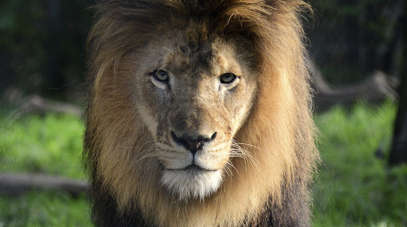 Indianapolis Zoo: Male Lion Killed By Mother Of Its Cubs