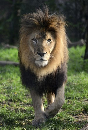 A male lion, Nyack, died Monday morning after it was fatally injured by another lion at the Indianapolis Zoo.