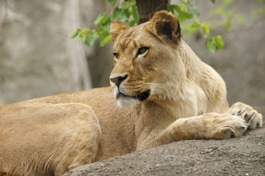 A female lion, Zuri, fatally wounded a male lion, Nyack, said the Indianapolis Zoo.
