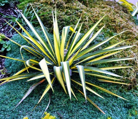 """""""Color Guard"""" yucca is a bright light in the winter landscape."""