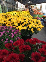 Loveday's Garden Center features mums of all colors.