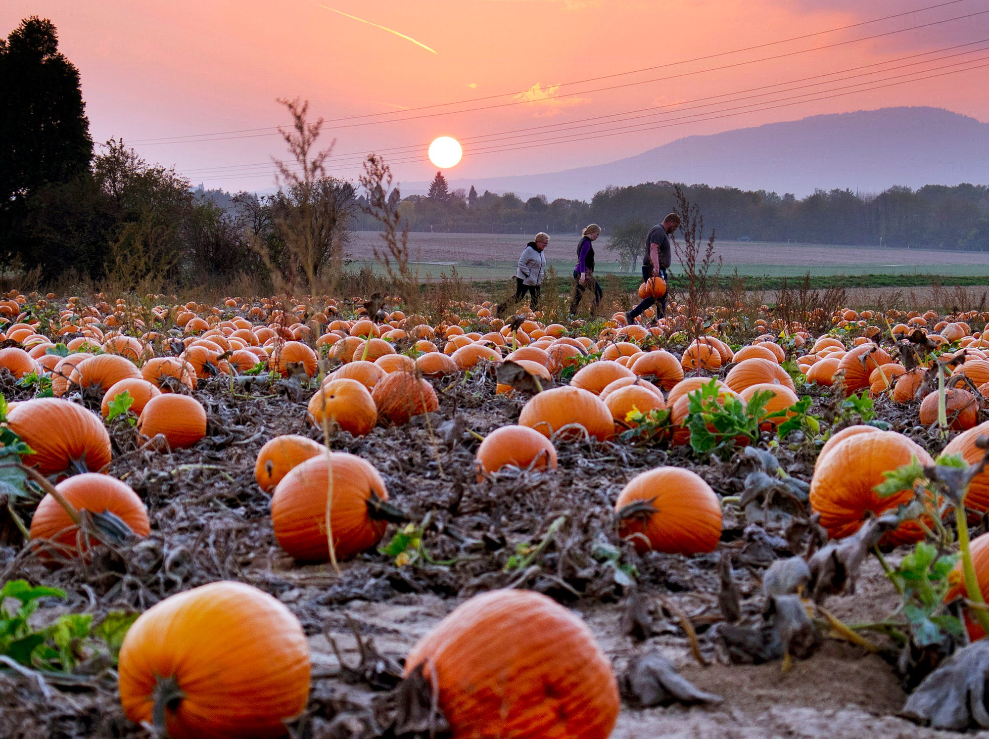 People collect pumpkins on a field in the outskirts of Frankfurt, Germany, as the sun sets Thursday, Oct. 18, 2018. (AP Photo/Michael Probst)