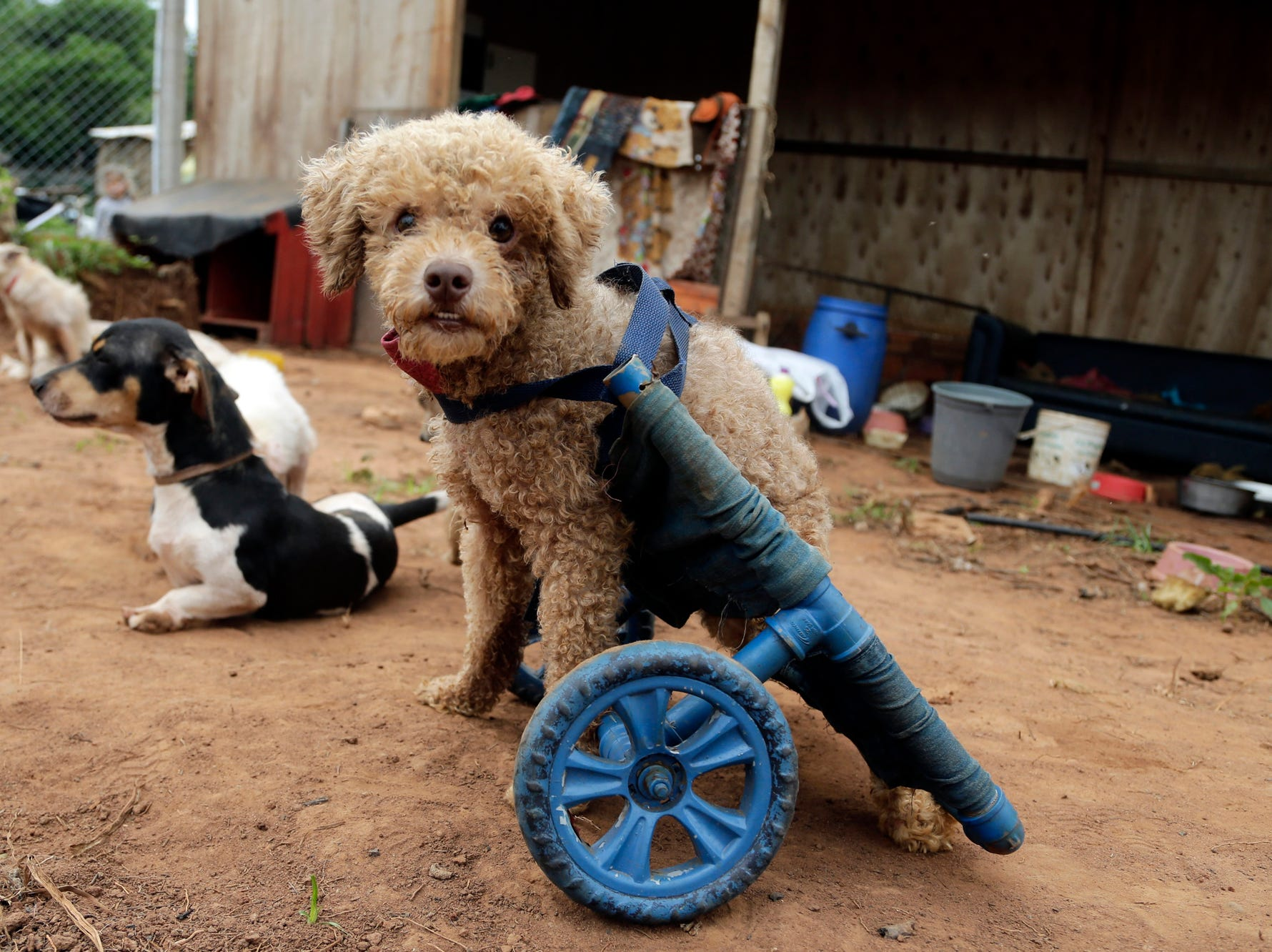 "A rescued disabled dog eyes the camera equipped with a wheelchair, at the shelter Rescaes, the Spanish acronym for Rescued With Special Needs, in Itapuami, Paraguay, Wednesday, Oct. 17, 2018. Veterinarian Raul Tuma says that pets without mobility ""deserve to have the cart with wheels because they can not live without being able to walk."" (AP Photo/Jorge Saenz)"