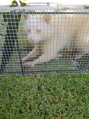 Albino raccoon found in Collierville