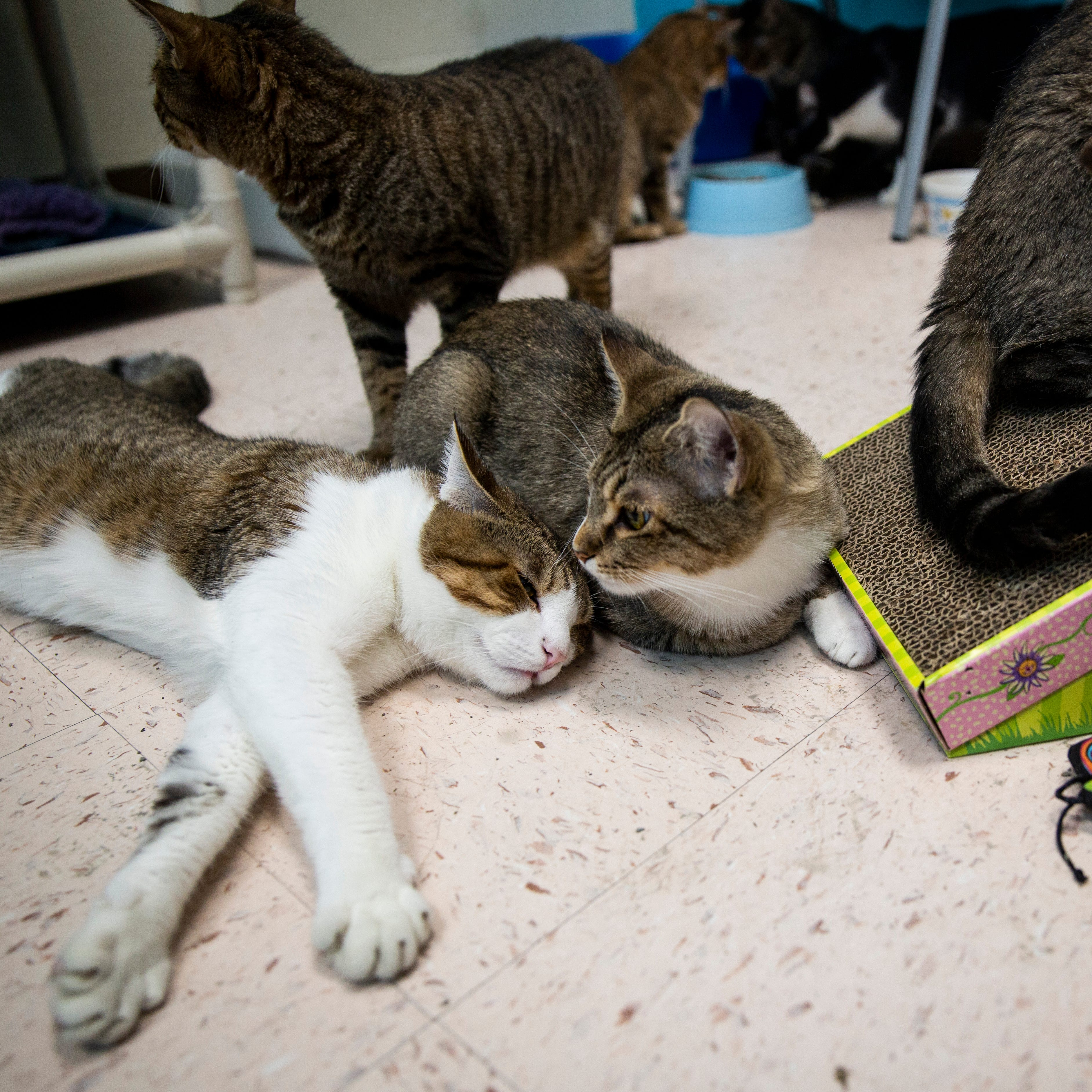 Last of 31 cats rescued in North Naples hoarding case now ready for adoption
