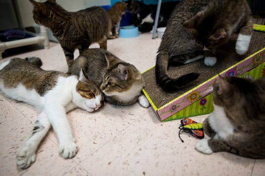 Cats rescued from a one-bedroom apartment where they were being hoarded relax after eating catnip on Friday, October 19, 2018, at Collier Domestic Animal Services in Naples. Eighteen of the 29 cats that were rescued in August are still available for adoption from Collier Domestic Animal Services, which is having a free cat adoption promotion that will continue at least through the end of October.