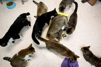 Collier Domestic Animal Services is offering free cat adoptions due to a high cat population at the shelter.