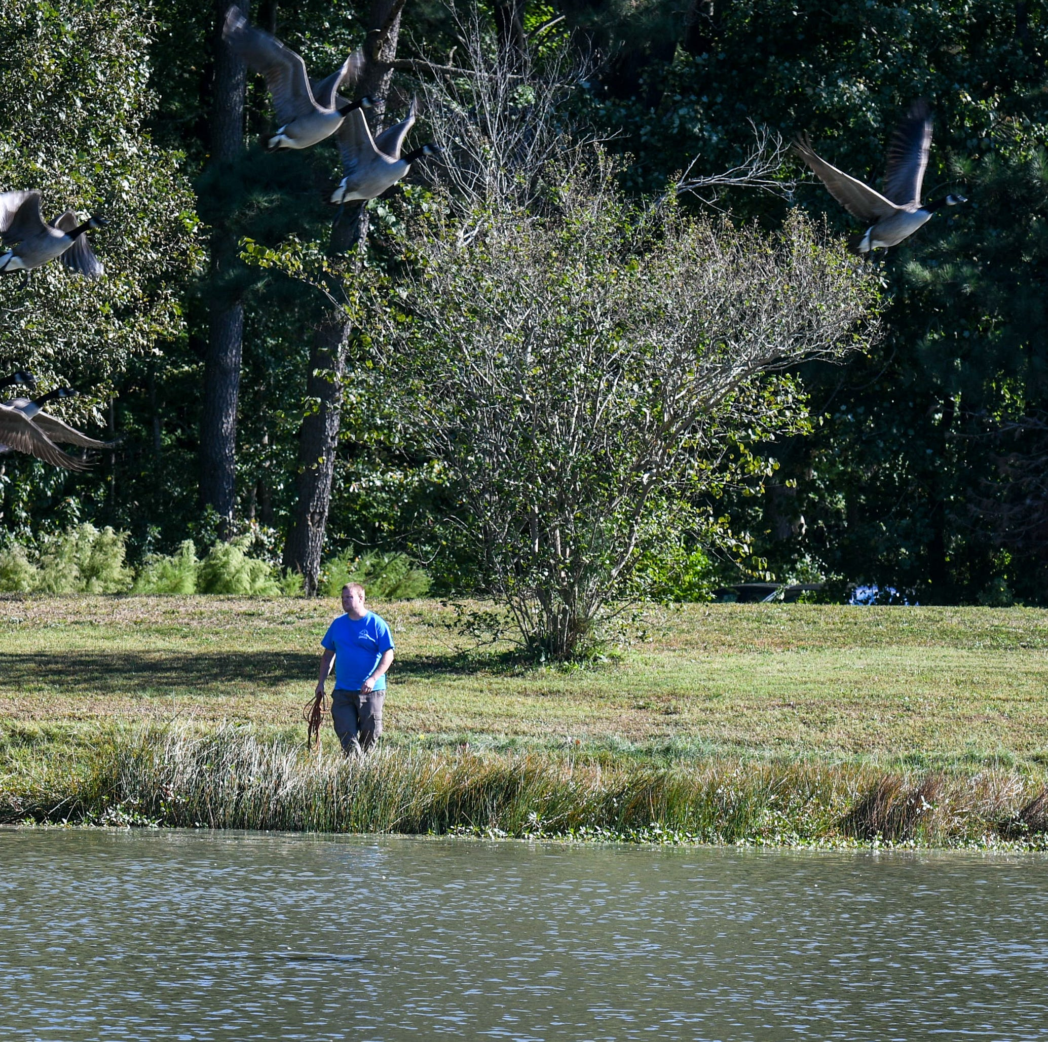 Ocean Pines brings in dogs to chase unshakeable geese population