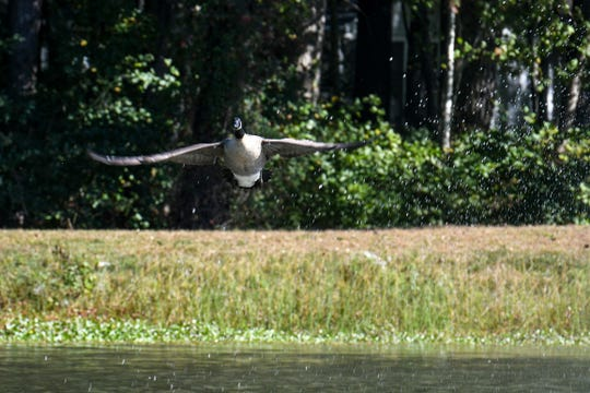 Geese fly out of the pond at Ocean Pines after being chased by border collies on Friday, Oct 19, 2018.