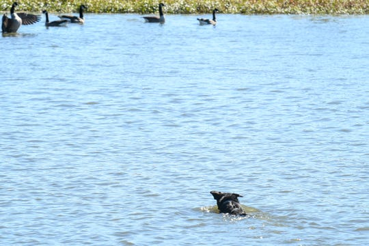 Working dog Lotus chases geese out of a pond at Ocean Pines on Friday, Oct 19, 2018.