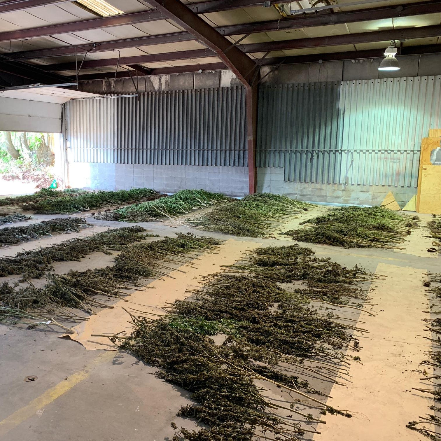 Deputies find hundreds of marijuana plants on Greene County property