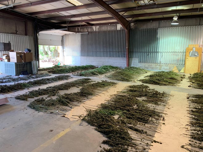 The Greene County Sheriff's Office said it discovered 500 to 800 marijuana plants growing at a property north of Ash Grove.