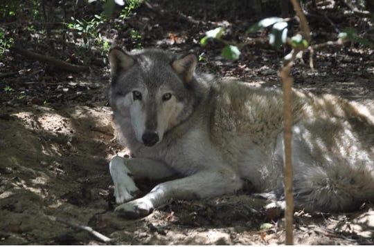Tahane the wolf